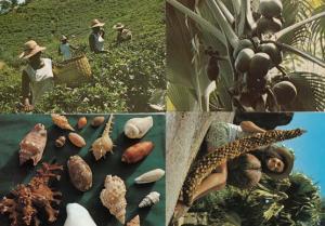 Seychelles Coconut Fruits Tea Picking Makers Sea Shells 4x Postcard s