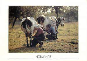 Milking cows cow milk milkmaid France postcard