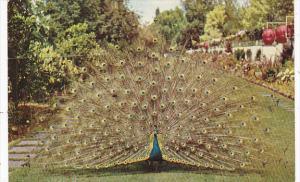 Peacock Lambert Gardens Portland Oregon