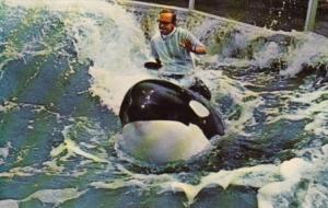 Shamu Killer Whale Sea World Mission Bay San Diego California 1972