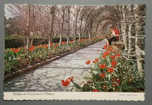 Tulips at Governor's Palace, Williamsburg, Virginia Postcard