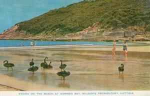 Norman Bay Swans Victoria Australia Postcard