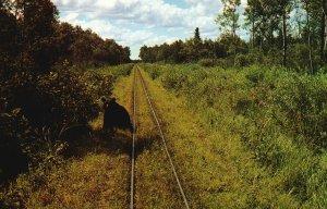 Vintage Postcard Toonerville Trolley Wild Forest Black Bears Along The Tracks
