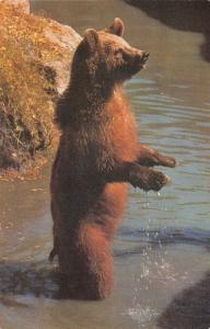 Postcard Himalayan Brown Bear by J. Salmon Ltd #H