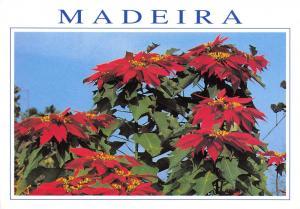Postcard MADEIRA, Poinsetias, Flowers #876