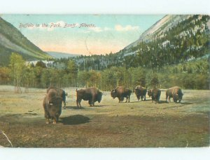 Divided-back BUFFALO IN THE PARK Banff Alberta AB AF7508