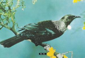 Tui Prosthemadera Novaeseelandiae New Zealand Bird Postcard