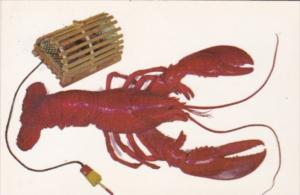 A Maine Lobster