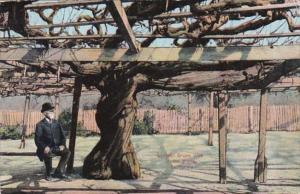 California Largest Grape Vine In The World 1913