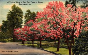 Louisiana Shreveport Typical View Of Red Bud Trees In Bloom 1951 Curteich