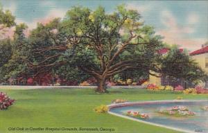 Old Oak In Candler Hospital Grounds Savannah Georgia