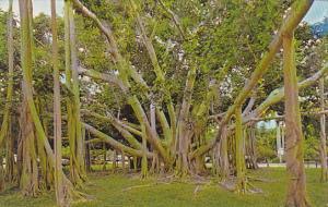 Banyan Tree Fort Myers Florida