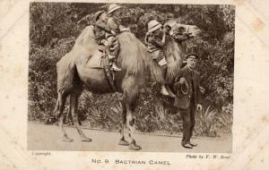UK Bactrian Camel* Photo by F. W. Bond. Circulada 1924 01.52