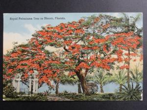 USA: Florida,Royal Poinciana Tree in Bloom - Old Postcard Pub by Cochrane Co