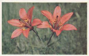 CANADIAN ROCKIES, 50-60s; Red Lily (Lilium montanum)