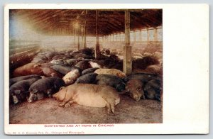 Contented and at Home in Chicago Illinois~Sleeping Pigs & Hogs in Barn~c1905
