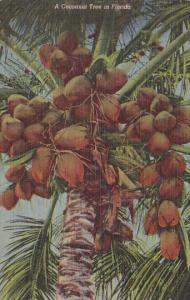 Florida A Cocoanut Tree In Florida