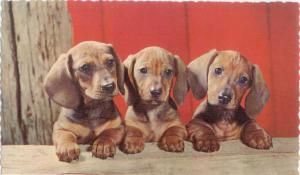 3 Dachshund Pups