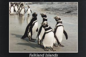 Magellanic Penguins [Jackass Penguins] , Falkland Islands , PU-1980