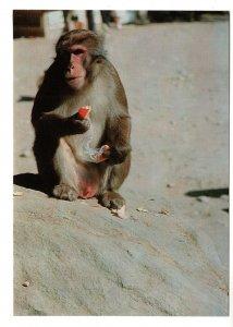 Wild Monkey, Mount Takasaki, Japan