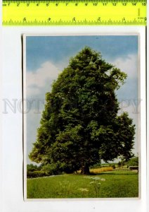 425134 GERMANY forest plants Tilia cordata Hermann Fischer CIGARETTE Tobacco
