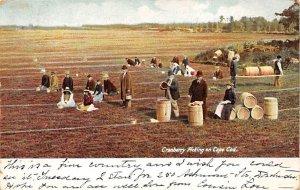 Cranberries, Cranberry Post Card Cranberry Picking Cape Cod, Massachusetts, U...