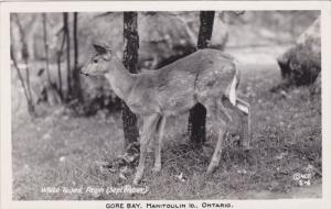 RP: Wite-Tailed - Fawn deer , GORE BAY , Manitoulin Island , Ontario , Canada...