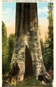 CA - Santa Cruz County. Big Tree Grove, Calaveras