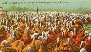 VA - Rockingham County, Flock of Turkeys