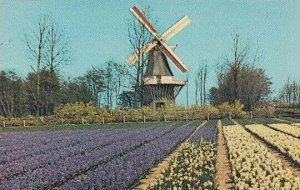Windmill Keukenhof Holland Botanical Gardens