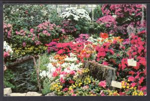Azalea Flower Show,Lincoln Park Conservatory,Chicago,IL BIN