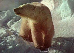 Alaskan Polar Bear BIN