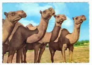 RP  LEBANON , PU-1969, Camels