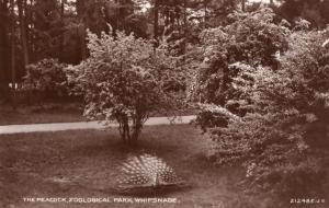 Peacock Bird Whipsnade Zoo Zoological Park Real Photo Old Postcard