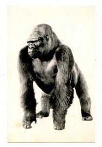 Bushman - Famous Gorilla