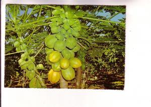 Pawpaw Tree in Flower and Fruit, Murray Views, Australia