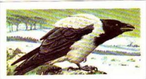 Brooke Bond Tea Trade Card Wild Birds In Britain No 2 Hooded Crow