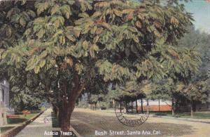 Acacia Trees along Bush Street, Santa Ana, California, PU 1910
