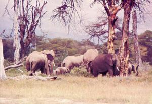 Africa - Kenya. Elephants