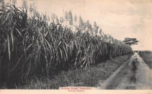 Sugar Cane, Trinidad, British West Indies, Early Postcard, Unused