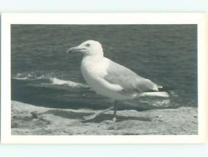 rppc Pre-1950's Close Up GREAT VIEW OF SEAGULL BIRD AC8410