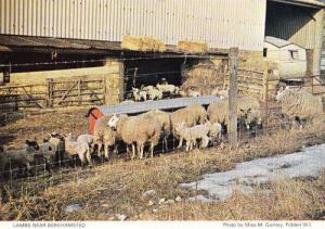 Berkhamsted Lambs Cattle Farm Farming Hertfordshire Womens Institute Postcard