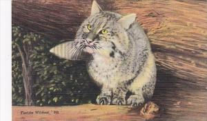A Florida Wildcat