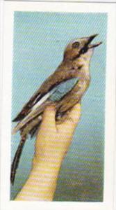 Hornimans Tea Trade Card Pets No 26 Jay
