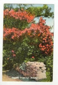 Oleanders 20 Feet High, Bermuda, 1900-1910s