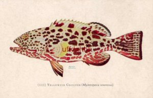 YELLOWFIN GROUPER Norman Erickson PRINCESS ROCKFISH Mycteroperca venenosus