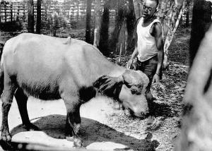 Central Africa Le Congo d'aujourd'hui Bison Roux