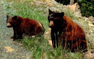 American Black Bear 1966