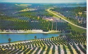 Citrus Groves As Seen From Citrus Tower Clermont Florida 1963