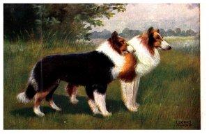 Dog ,  Collies